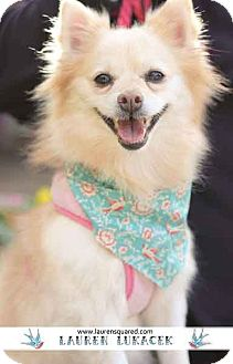 Pomeranian Dog for adoption in Los Angeles, California - Vitamin - VIEW HER VIDEO!