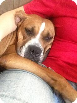 Boxer Mix Dog for adoption in Spring Valley, New York - Lola