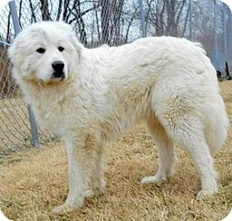 Great Pyrenees Puppy for adoption in Oswego, Illinois - Lucas