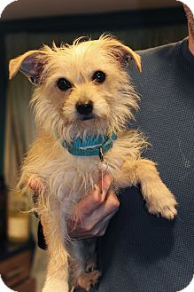 Yorkie, Yorkshire Terrier/Cairn Terrier Mix Dog for adoption in Bedford Hills, New York - Marcus