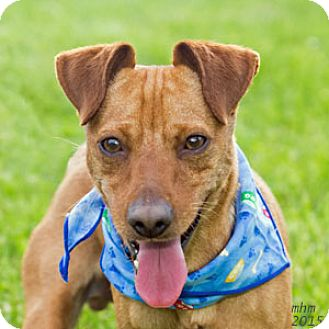 Chihuahua/Dachshund Mix Dog for adoption in Naperville, Illinois - Guy