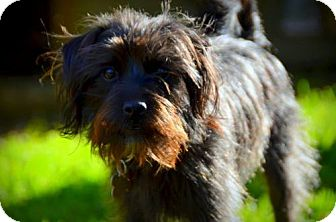 Terrier (Unknown Type, Medium) Mix Dog for adoption in Portland, Oregon - Max