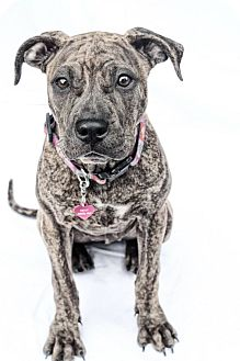American Pit Bull Terrier Mix Dog for adoption in West Allis, Wisconsin - Siggy