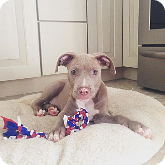American Pit Bull Terrier Mix Puppy for adoption in Baltimore, Maryland - Valor