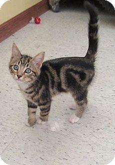 Domestic Shorthair Kitten for adoption in Rochester, Minnesota - Talon
