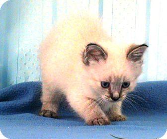 Siamese Kitten for adoption in Maynardville, Tennessee - Claire