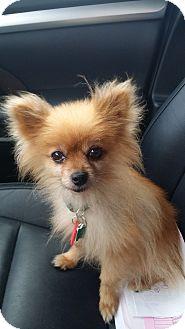 Pomeranian Dog for adoption in conroe, Texas - Fuego