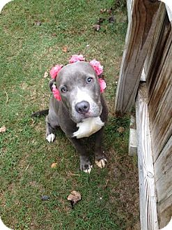 American Pit Bull Terrier Mix Dog for adoption in Darlington, South Carolina - Cameo