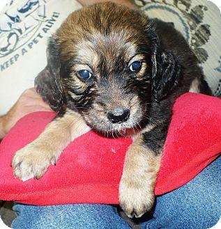 Springer Spaniel/Labrador Retriever Mix Puppy for adoption in Eastpoint, Florida - Peony