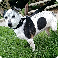 Jack Russell Terrier Mix Dog for adoption in Macomb, Illinois - Kelly Jo