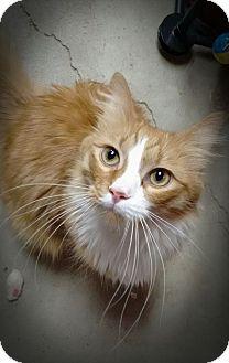 Domestic Longhair Cat for adoption in Manhattan, Kansas - Seamus