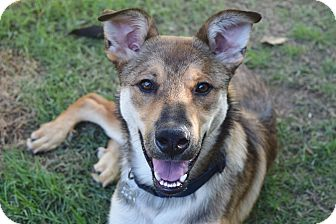 German Shepherd Dog/Husky Mix Dog for adoption in Knoxville, Tennessee - WALLY