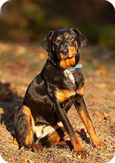 Dachshund/Doberman Pinscher Mix Dog for adoption in Prince Frederick, Maryland - Stella