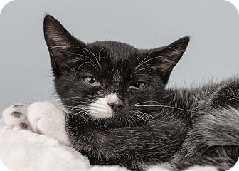 Domestic Shorthair Kitten for adoption in Bristol, Connecticut - Homer