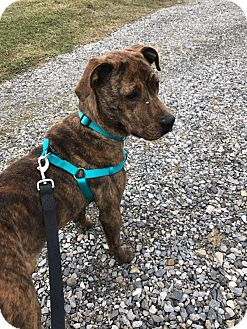 Labrador Retriever/Catahoula Leopard Dog Mix Dog for adoption in Staunton, Virginia - Mocha