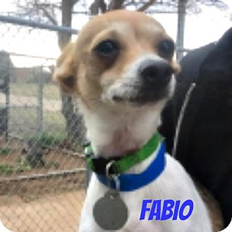 Chihuahua Mix Dog for adoption in Middleton, Wisconsin - Fabio