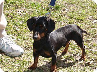 Dachshund Dog for adoption in Cantonment, Florida - Rascal