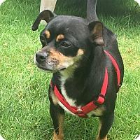 Adopt A Pet :: Diego - New York, NY