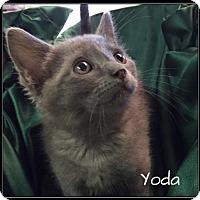 Adopt A Pet :: Yoda - Jasper, IN