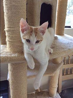 Domestic Shorthair Kitten for adoption in Prescott, Arizona - Buddy