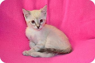 Siamese Kitten for adoption in Buford, Georgia - Orion