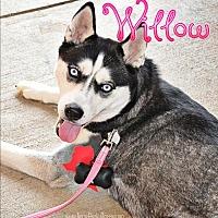 Adopt A Pet :: Willow - Carrollton, TX