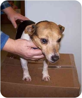 Rat Terrier Mix Dog for adoption in Carmel, Indiana - Jersey