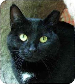 Domestic Shorthair Cat for adoption in Plainville, Massachusetts - Inkie