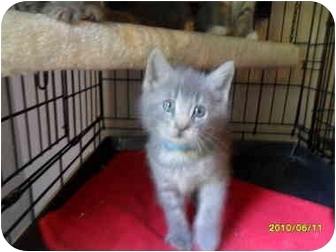 Domestic Mediumhair Kitten for adoption in Frenchtown, New Jersey - Grayson