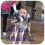 Photo 1 - German Shepherd Dog/Labrador Retriever Mix Puppy for adoption in Vista, California - Chloe