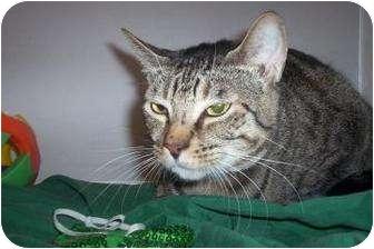 Domestic Shorthair Cat for adoption in North Charleston, South Carolina - Elam