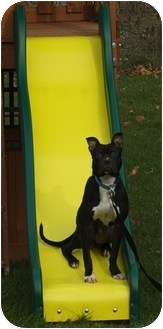 Boxer/Pit Bull Terrier Mix Puppy for adoption in Homer, New York - Chill