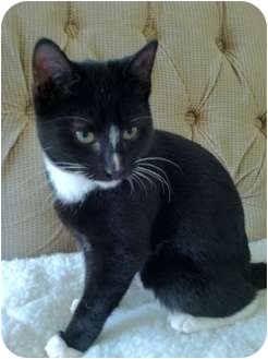 Domestic Shorthair Kitten for adoption in South Plainfield, New Jersey - Bobby