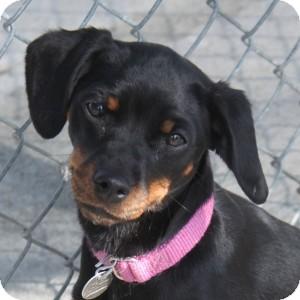 Miniature Pinscher Dog for adoption in Naperville, Illinois - Tutu Bella