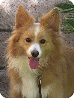 Sheltie, Shetland Sheepdog Mix Dog for adoption in Irvine, California - Sasha