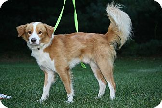 Nova Scotia Duck-Tolling Retriever/Collie Mix Dog for adoption in West Milford, New Jersey - ROSCO - HOLD