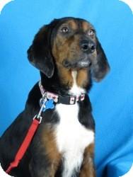 Hound (Unknown Type) Mix Dog for adoption in Minneapolis, Minnesota - Kaiden