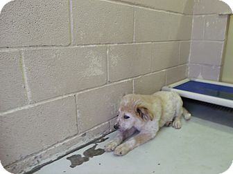Great Pyrenees Mix Puppy for adoption in Bowie, Texas - Esther