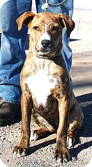 American Bulldog Mix Puppy for adoption in Chino Valley, Arizona - Noodles