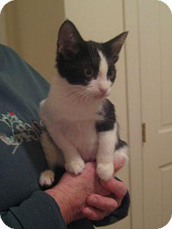 Domestic Shorthair Kitten for adoption in Rochester, Minnesota - Molly