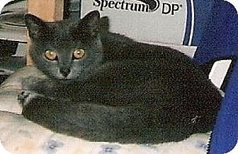 Russian Blue Cat for adoption in Madison, Tennessee - Alexandra