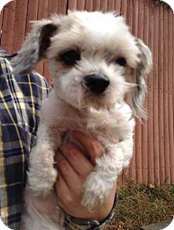Shih Tzu Mix Dog for adoption in Rye Brook, New York - Lucy