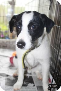 Jack Russell Terrier Mix Puppy for adoption in Bluemont, Virginia - Marcel