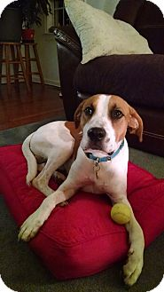 Hound (Unknown Type)/Labrador Retriever Mix Dog for adoption in Richmond, Virginia - Polo Jack
