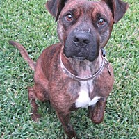 American Pit Bull Terrier Mix Dog for adoption in Houston, Texas - Hemi