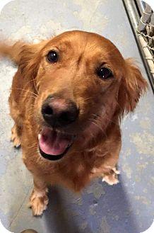 Golden Retriever Dog for adoption in Roanoke, Virginia - Genesis