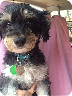 Poodle (Miniature)/Yorkie, Yorkshire Terrier Mix Dog for adoption in Pasadena, California - JULIETTE