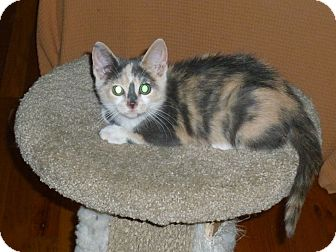 Domestic Shorthair Kitten for adoption in Royal Oak, Michigan - Amelia