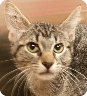 Domestic Shorthair Kitten for adoption in Colfax, Iowa - Ayden