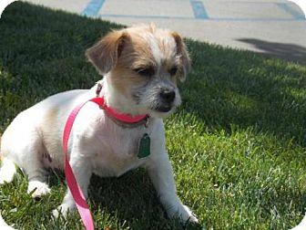 Shih Tzu/Lhasa Apso Mix Puppy for adoption in Bakersfield, California - Minx